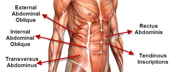 magmuskler-anatomi